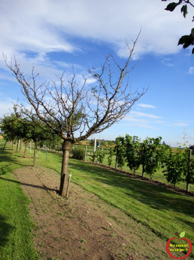cerisier sans feuilles et sans vigueur- maladie du cerisier-