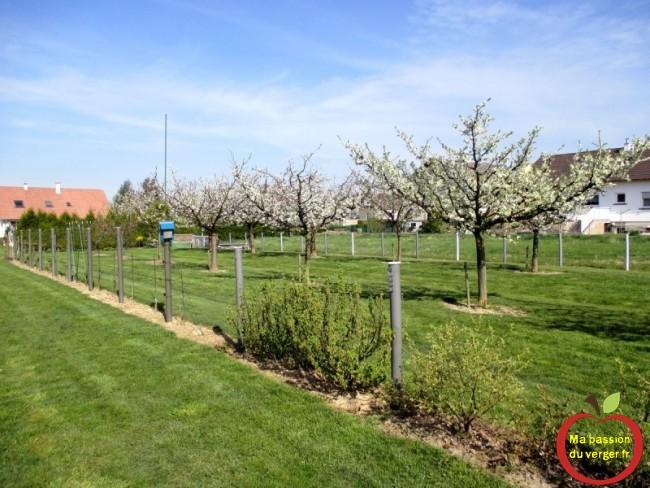 floraison cerisier-