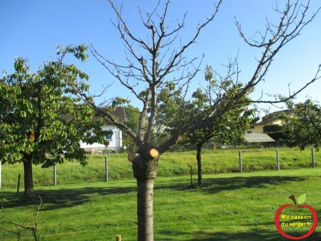 couper arbre fruitier malade