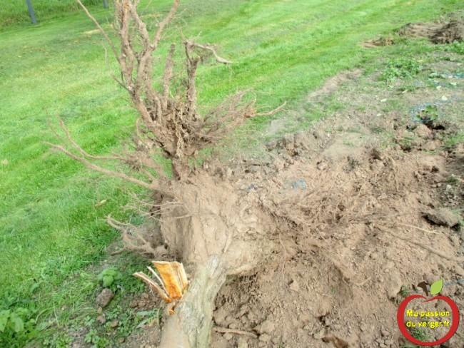 comment arracher un arbre avec les racines -sortir facilement les racines d'un arbre.