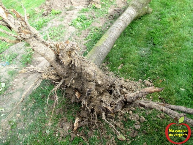 déraciner facilement un arbre fruitier- enlever facilement un arbre fruitier