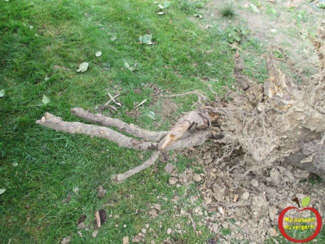 racine morte du cerisier
