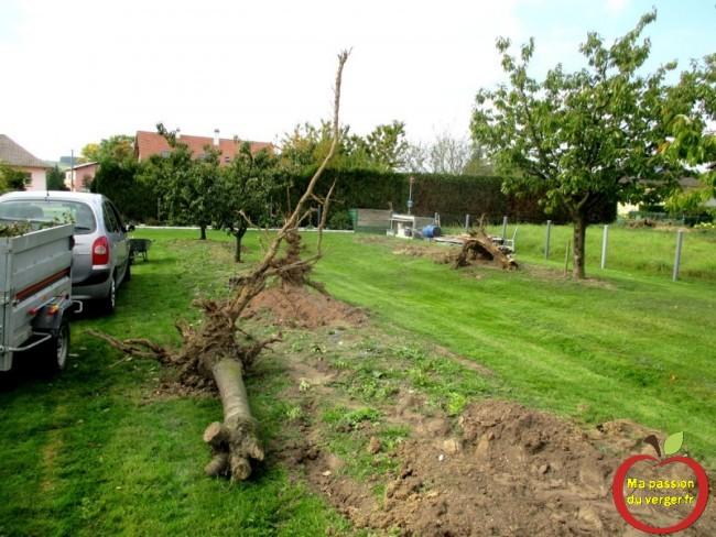 arrachage arbre fruitier malade