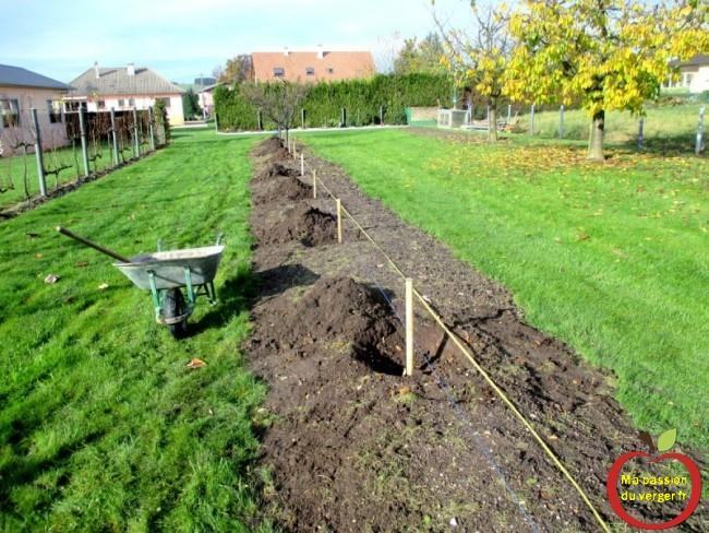 préparation plantation cerisier sans vers-