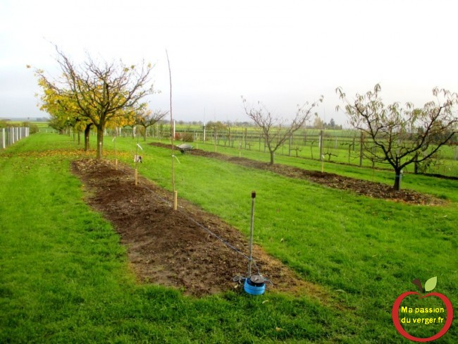 cerisier planté en haie fruitière-