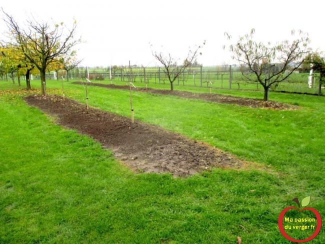 plantation cerisier nain- cerisier en scion