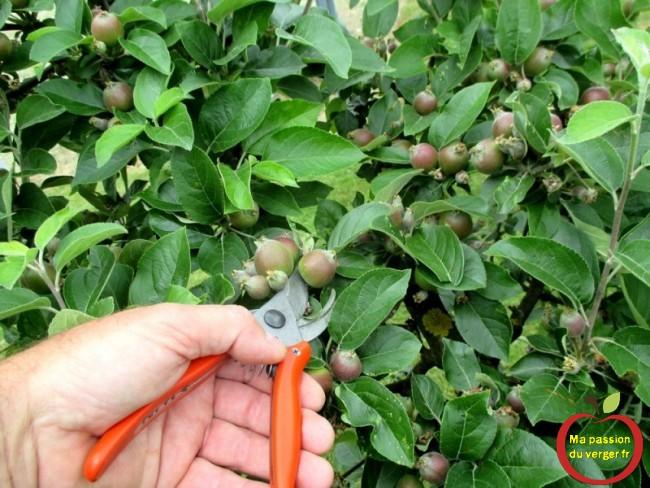 Triangle outillage- Triangle -Ce sécateur permet de réaliser l'éclaircissage sur la plupart des variétés de pomme.