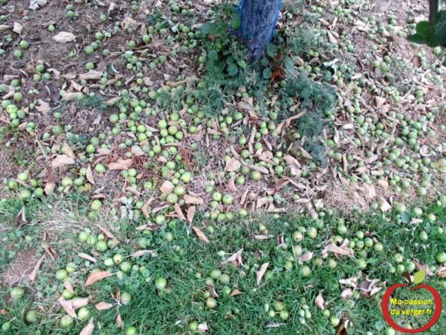 Le résultat de l'éclaircissage, avec les pommes coupées au sol.Triangle outillage- Triangle -