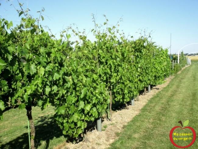 La vigne est une plante très vigoureuse qui a tendance à se développer énormément.