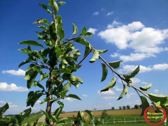 On peut utiliser l'arcure, avec les élastiques dès le mois de juin, pour freiner une branche trop vigoureuse, par rapport aux autres.