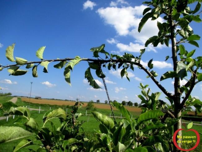 L'arcure, pour la mise à fruit, peut se faire dès le mois de juin, jusqu'au mois de septembre, suivant la vigueur des pousses.