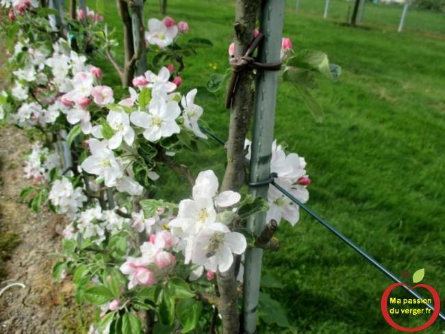 Liens souple, pour attacher les arbres fruitier, palmettes ou espaliers, sur les tuteurs et les fils de palissage-Triangle outillage- Triangle -