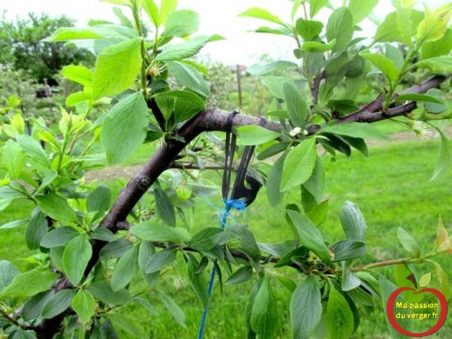 Triangle outillage- Triangle -Ensuite, on passe le lien caoutchouc EPDM, autour de la branche à arquer et on attache la ficelle en tirant vers le bas, pour avoir l'ouverture souhaité.