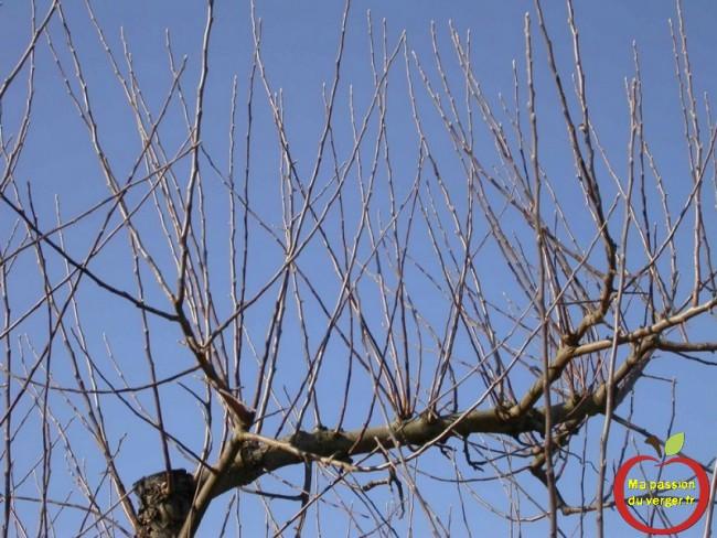 Évitez les excès, les tailles sévères qui favorisent la croissance végétative au détriment des fruits