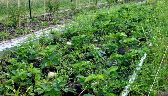comment enlever les mauvaises herbes dans les fraises