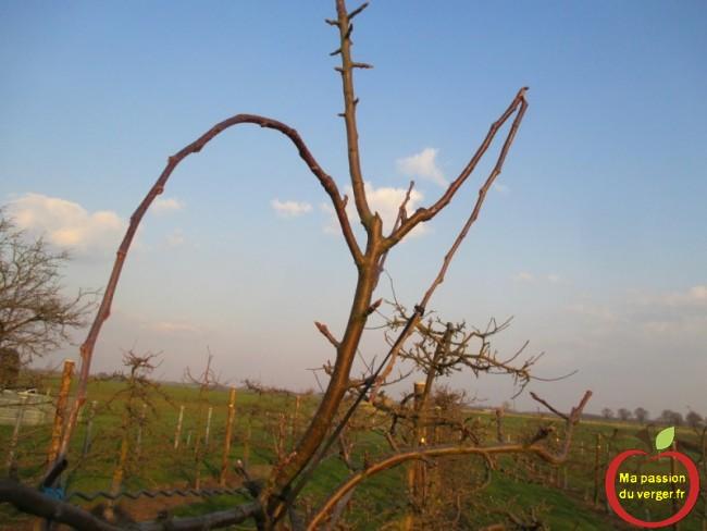 ne pas forcer pour arquer, si non la branche peut casser, si l'angle est trop fermé