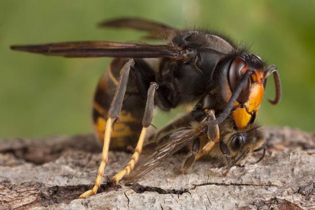 Frelon asiatique dÈcoupant une abeille - AprËs avoir attrapÈ une abeille, le frelon la dÈcoupe. Il ne gardera que le thorax qu'il emportera dans son nid -  -