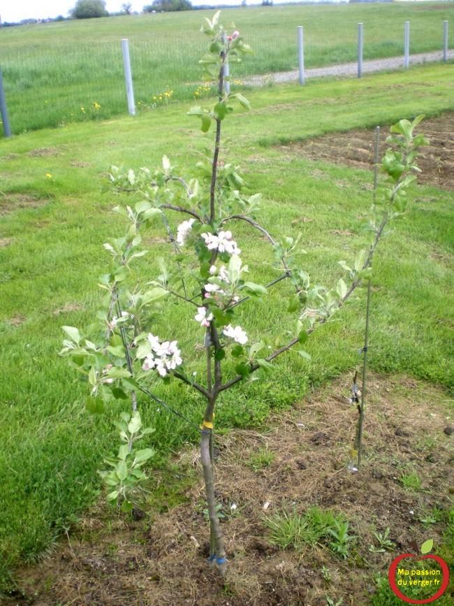 Pour freiner une branche, il suffit de l'arquer comme sur la photo, elle va pousser moins vite et se mettre à fruits.