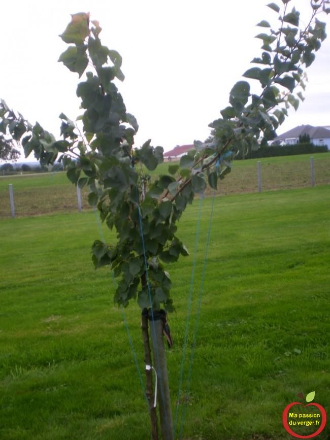 Et le voici le m^me abricotier après l'arcure des branches charpentière.