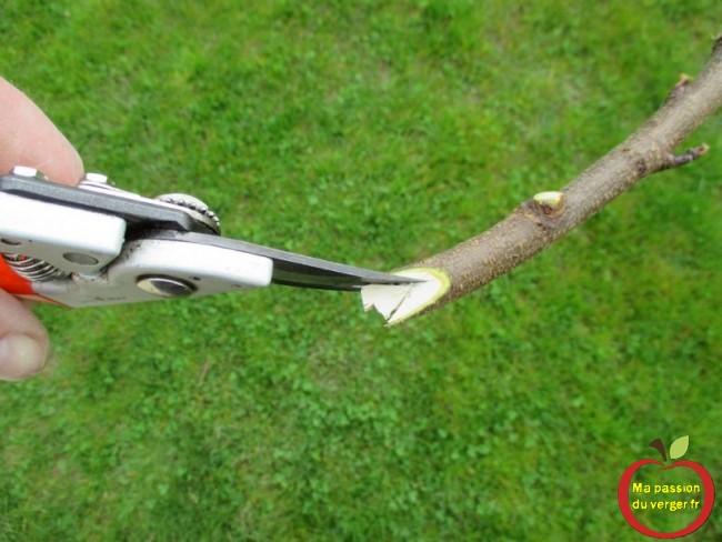 Comment faire des écarteurs, pour arquer et former une quenouille arbre fruitier.