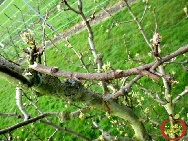 méthode avec écarteur, sur mes poiriers surgreffés, pour ouvrir les nouvelles branches
