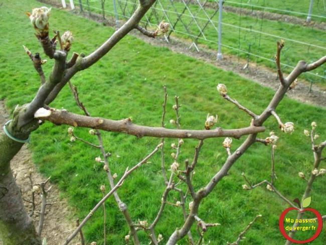 écarteur caler, sous une brindille, un bourgeon, une branche, de poirier.