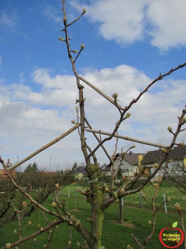 Comment écarter branches du poirier