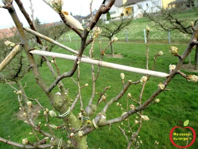 Toujours caler, sous une brindille, un bourgeon, une branche, pour écarter, ou ouvrir une branche de poirier