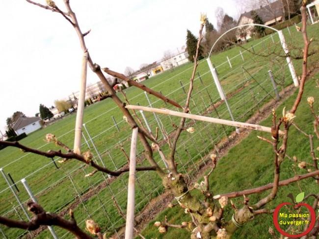 écarteur de branches sur poirier surgreffé