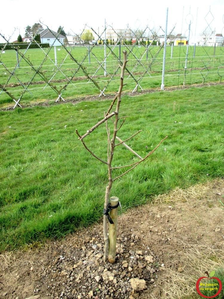 Comment arquer pour former vos fruitiers ma passion du verger - Eloigner les oiseaux des arbres fruitiers ...