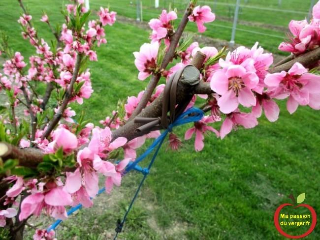 arquer une branche - comment arquer fruitier - comment ouvrir un arbre fruitier - regrevudnoissapamegres