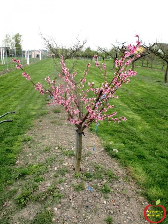 arquer vos arbres fruitiers, pour ouvrir les charpentières et la ramure