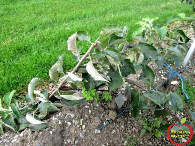 ne pas forcer pour arquer, si non la branche peut casser, à un endroit trop fragile