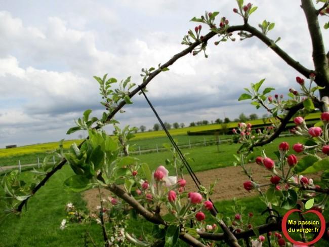 Au printemps, les boutons à fleurs, sont bien visibles, suite à l'arcure de la branche