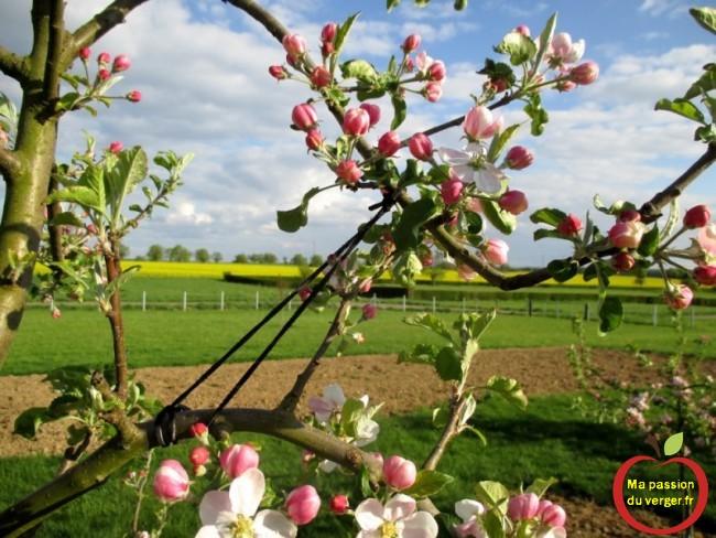 fixation de l'élastique pour arcure,- sur la branche inférieur du pommier. - tirer branche fruitier à l'horizontal - regrevudnoissapamegres
