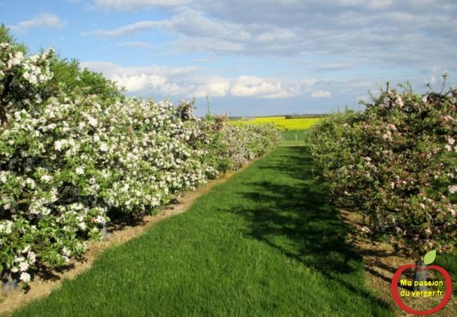 haie fruitière pommiers en axe, en pleine floraison