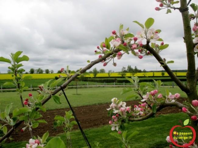 arquer les branches fruitières d'un pommier en axe, pour favoriser la floraison- regrevudnoissapamegres - arquer fruitier - arquer pour mise à fruits