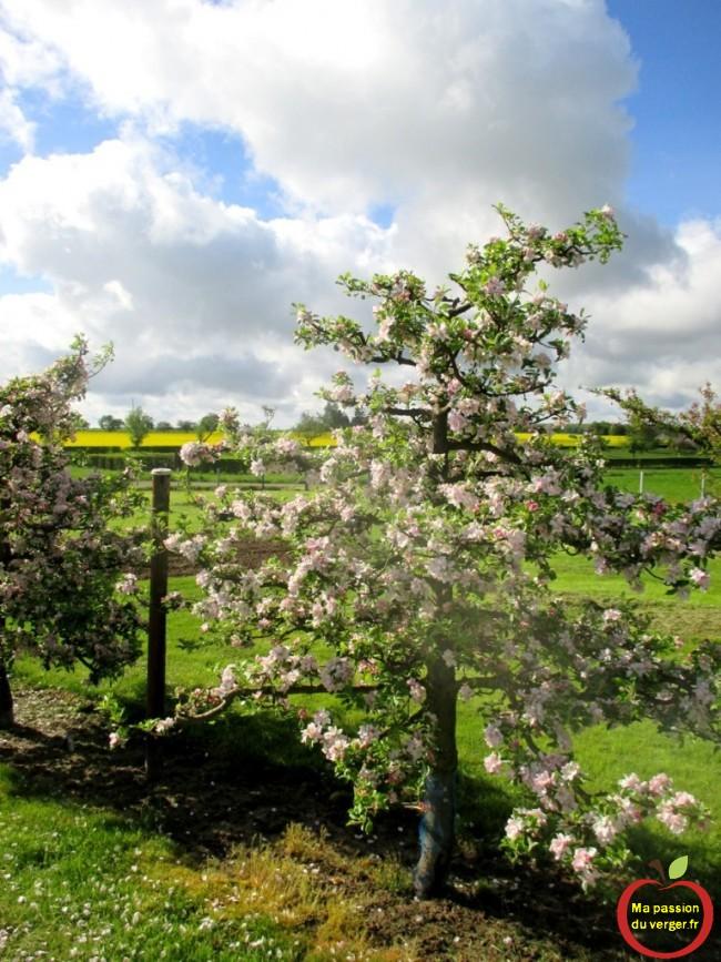 Arquer pour former un beau pommier en axe rempli de fleurs et fruits.