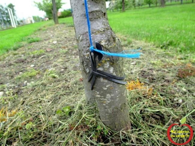utiliser des liens caoutchouc triangle poue faire des arcure sur les arbres fruitiers, grâce à son élasticité