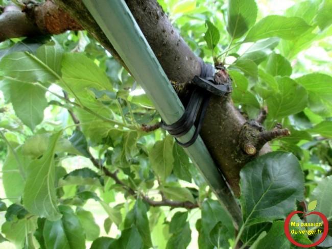 Attacher un tuteur, avec des liens caoutchouc EPDM, sur ou sous la branche, suivant l'angle que vous souhaitez avoir.
