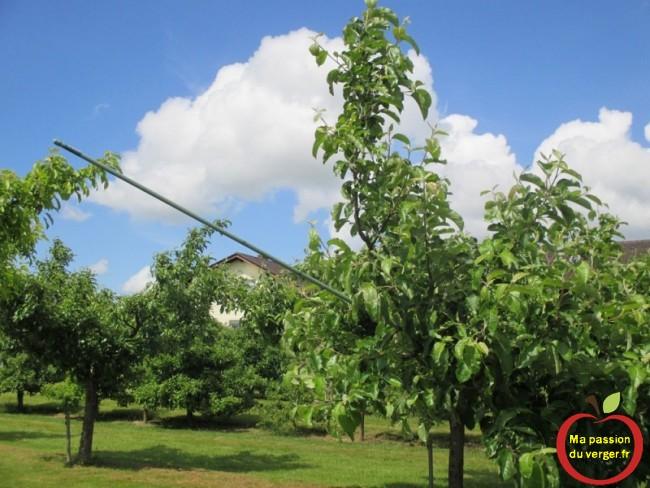 comment arquer une charpentière d'un arbre fruitier avec un tuteur