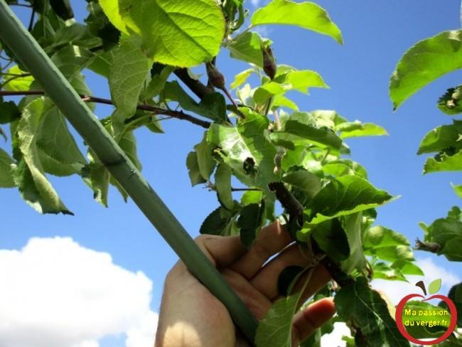 comment ouvrir un ramure d'un arbre fruitier