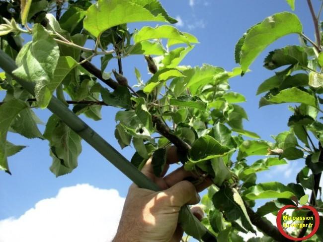 Pour arquer, il suffit de tirer la branche, vers le tuteur et des l'attcher avec des liens souples