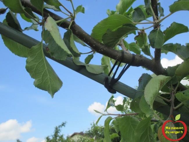 il suffit de tirer la branche, vers le tuteur et de l'attacher avec des liens caoutchouc EPDM.
