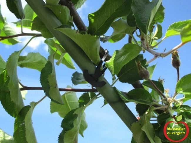 Utiliser des liens caoutchouc EPDM, pour ouvir et former les charpentières d'un arbres fruitier