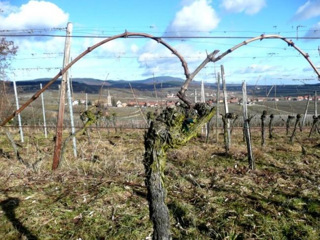 arcure et le liage des vignes