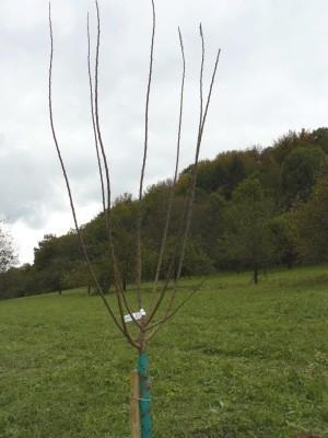 Un arbre fruitier a toujours tendance à pousser verticalement vers la lumière