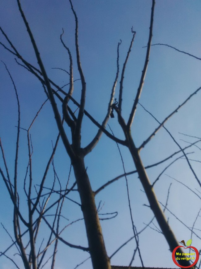 Un arbre fruitier a toujours tendance à pousser verticalement vers la lumière, il faut l'arquer pour le former