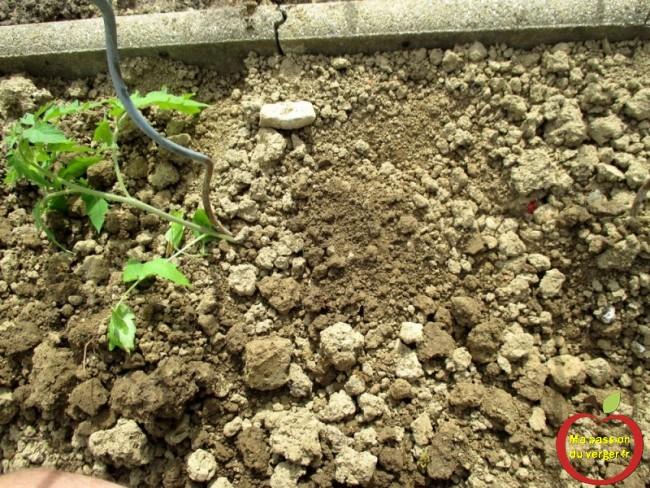 comment planter le pied de tomate avec la lune- bien planter la tomate-