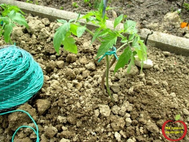 lien souple pour tomate- avec quoi attacher les tomates- comment attacher les tomates au tuteur